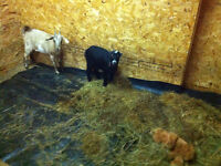 Mini Nubian and Pygmy Goats for sale 1 of ea.