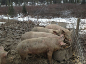 4 Butcher pigs for sale