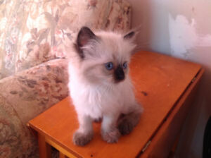 Don't miss these beauties what a deal! Purebred ragdoll kittens.