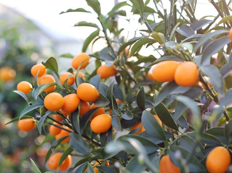 How to plant kumquat seeds ebay for Plante kumquat