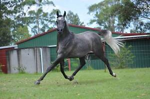 I can help sell or help you buy the right horse. Elimbah Caboolture Area Preview