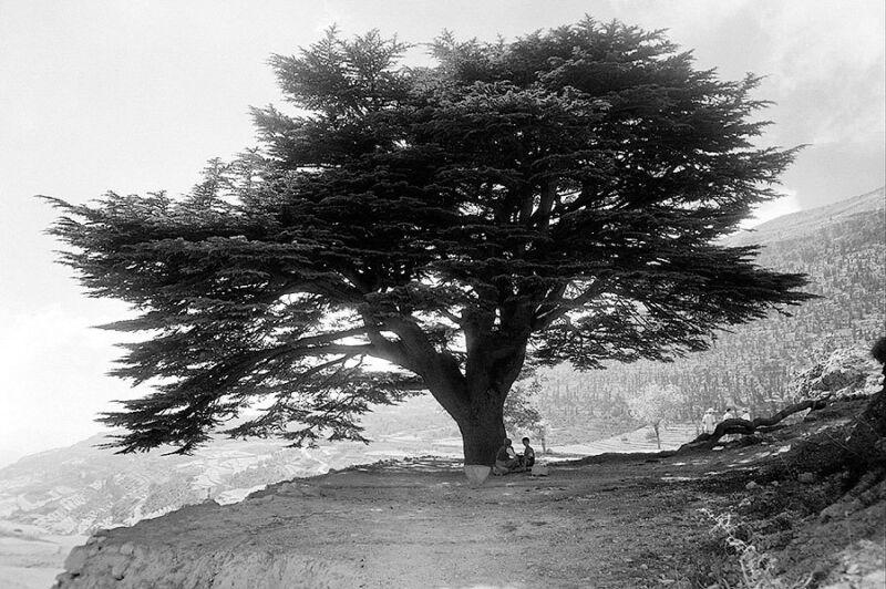 MOUNT MAR SARKIS & CEDAR TREE EHDIN LEBANON 8x12 SILVER HALIDE PHOTO PRINT
