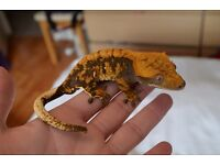 Stunning Crested Gecko Male #2