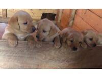 Red Fox Labrador puppies
