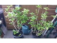 2 X GARDEN SHRUBS HYDRANGEA - If reading this they will still be for sale