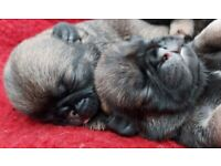 Sable Pug Puppies Ready in 7 Weeks