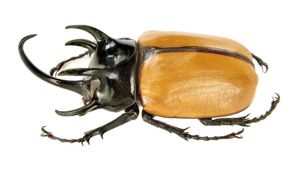 Голова жука картинки