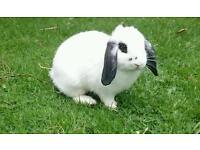 Mini Lop Rabbit - Buck