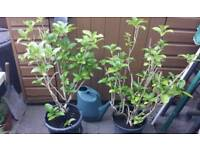 2 X GARDEN SHRUBS HYDRANGEA ↔ IF READING THIS THEY WILL STILL BE FOR SALE