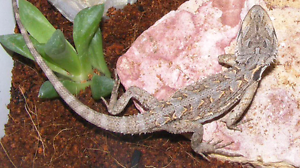 TOP QUALITY Young Bearded Dragons Wanneroo Wanneroo Area Preview