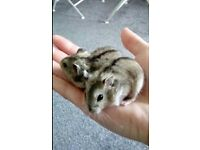 Two beautiful baby dwarf hamsters