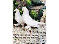 Fancy Pigeon for sale