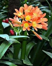 Orange Clivias - ready for planting West Pennant Hills The Hills District Preview