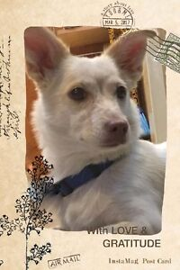 """Adoptable Adult Dog Spitz/Jack Russell """" Daisy"""""""