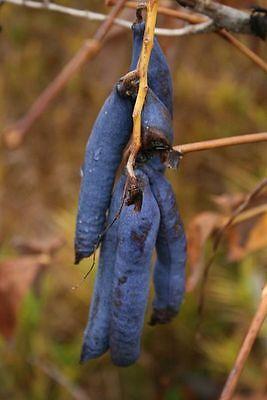 - 7 BLUE SAUSAGE FRUIT Edible & Ornamental Decaisnea Fargesii Tree Shrub Seeds