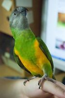 Meyer And Senegal Parrot both hand tame and Friendly/ Cage