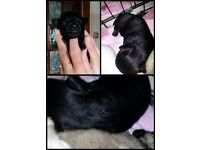 Chihuahua black pedigree puppy Champion bloodline