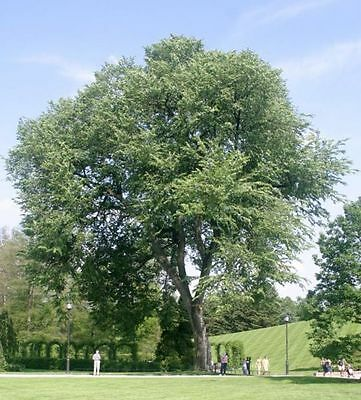 elm, AMERICAN ELM TREE, 223 seeds! GroCo''
