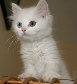 Male Angora Kitten Looking for Home
