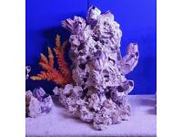 40cm high centre piece ocean rock cichlids fish