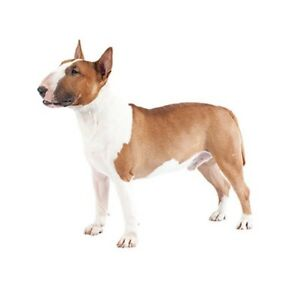 Looking for a bull terrier