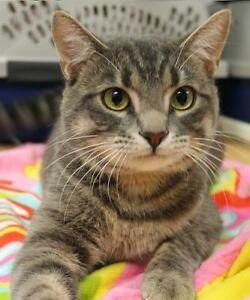 "Young Male Cat - Domestic Short Hair-Tabby (Gray): ""Spock"""