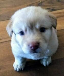 Laura - a Golden Retriever mix Pup!