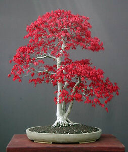 ACER-PALMATUM-JAPANESE-MAPLE-10-SEMI