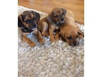 Fabulous Puggle Puppies