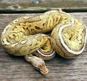 Rare Pewter Fire p Spark Ball python