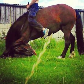 *URGENT* 13hh 10yo project mare New Forest from field *ONO*