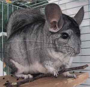 Sweetest Chinchilla ever in need of good home