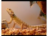 Urgent - Free For Home - Bearded Dragons