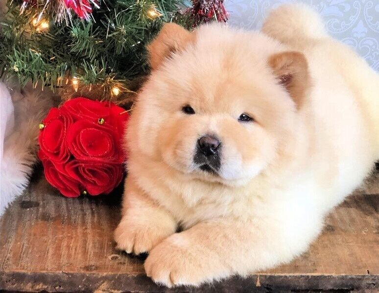Chow Chow Puppy For Sale In Northern Territory Australia