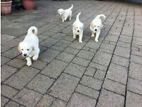 Stunning full bred golden retriever pups for sale.
