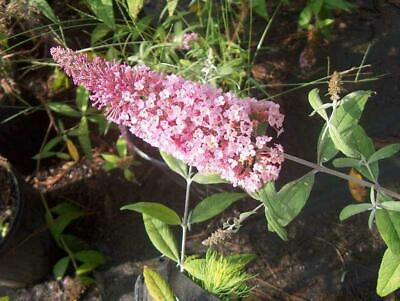 Pink Delight Butterfly Bush, Buddleia davidii 'Pink Delight', 1 Gal. Container