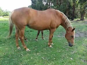 quarter horse mare Bairnsdale East Gippsland Preview