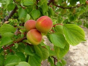 Apricot Tree Glenorie The Hills District Preview
