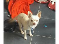 Male toy chihuahua 4months old