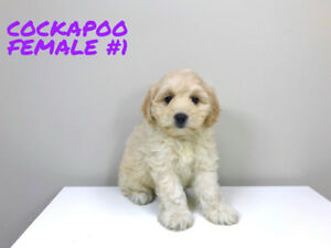 Cocker Spaniel X Mini Poodle - COCKAPOO PUPPIES