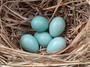 iso of a hen or pullet that lays blue egg