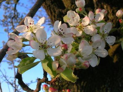 Birnbaum Blume (Europäische Birne Birnbaumholz Wild Pear Wunderschöne Blumen und Früchte Deko Vq)