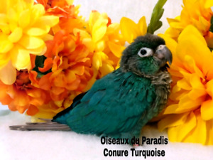 ❤️✳️❤️✳️ Baby Turquoise Conure ✳️❤️✳️❤️