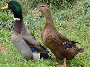 Rouen ducks and pekin ducks.