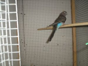 bourke parakeet for sale or trade