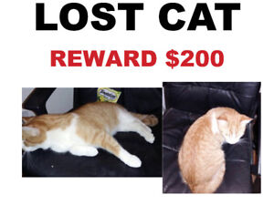 LOST CAT - ORANGE - Reward $200 London Road and East Street
