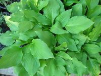 Green Hostas for Sale - 3 more days only