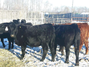 OPEN  BLACK HEIFERS