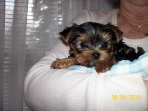 BEAUTIFUL YORKSHIRE TERRIER  MALE PUPPY