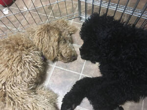 Beautiful female black standard poodle